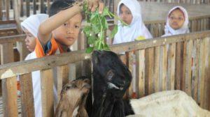 edukasi susu kambing etawa
