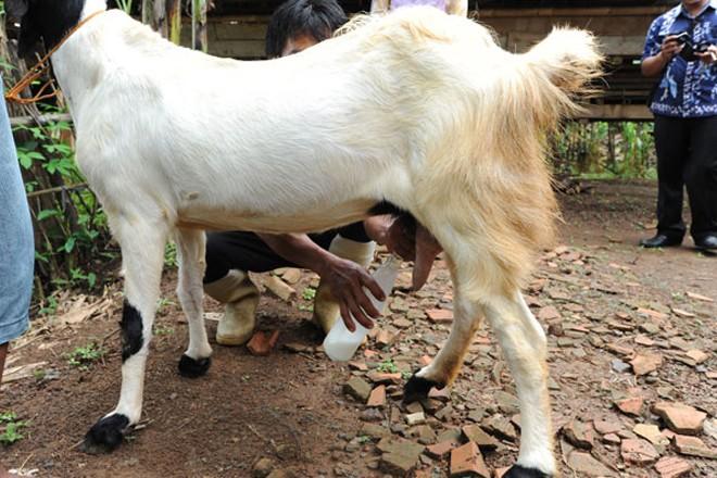 manfaat susu kambing